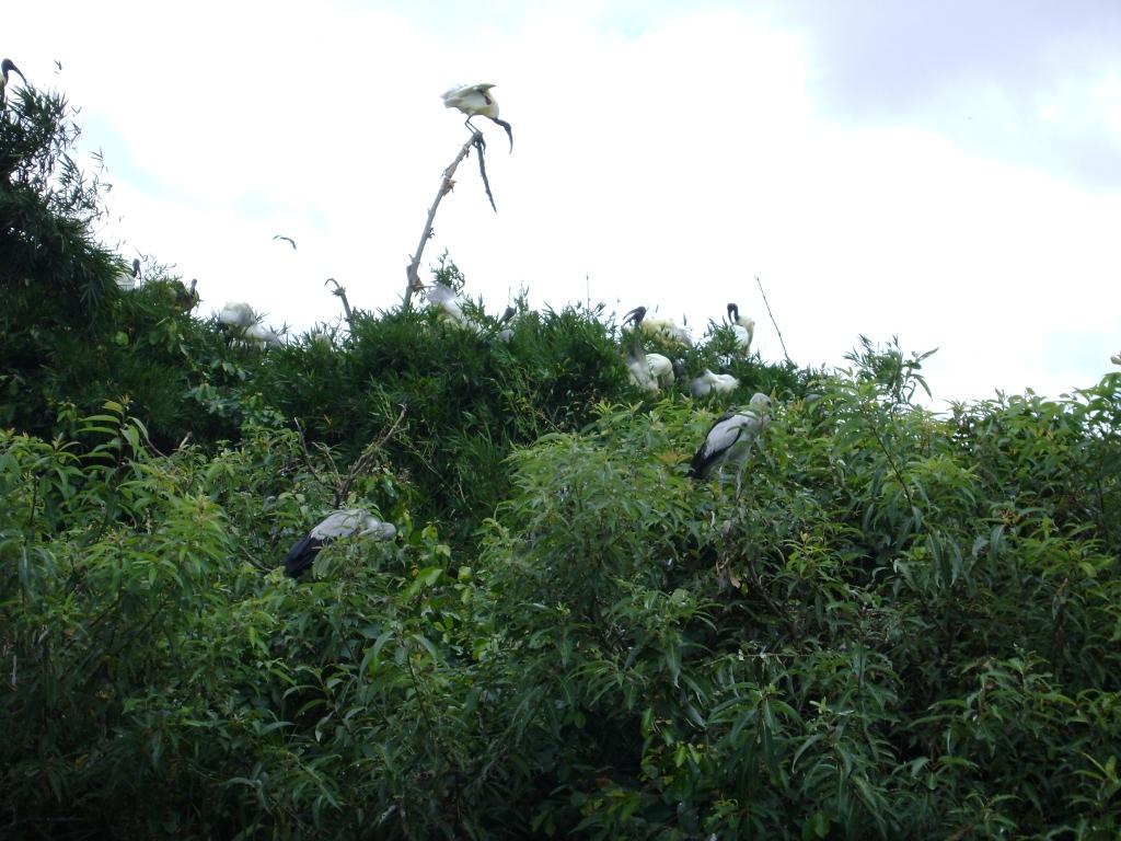 Bird Flock on tree tops at Ranganathittu Bird Sanctuary