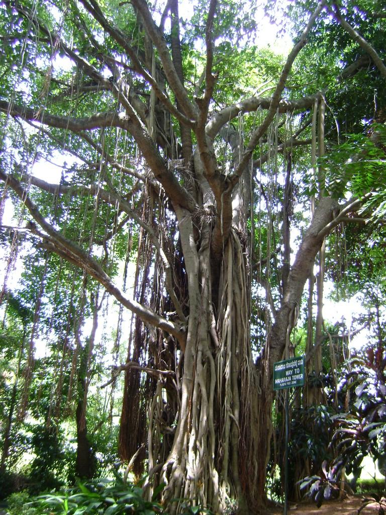 Big Banayan Tree at Ranganathittu Bird Sanctuary