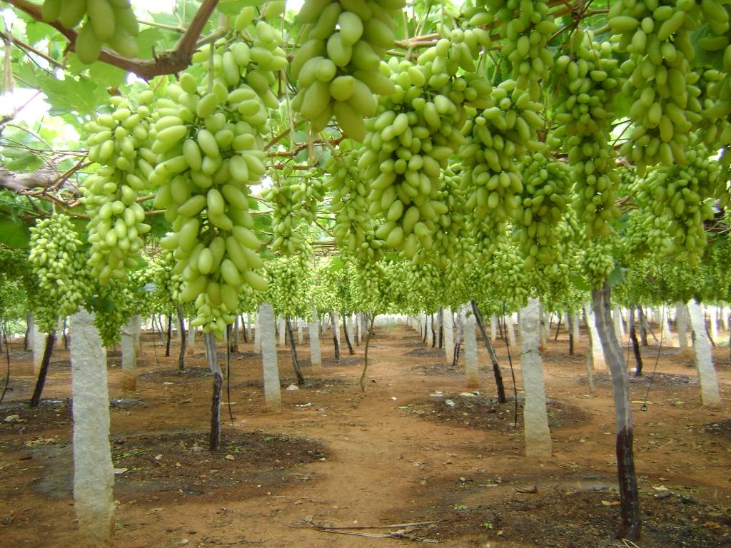 Gudibande Grape Yards